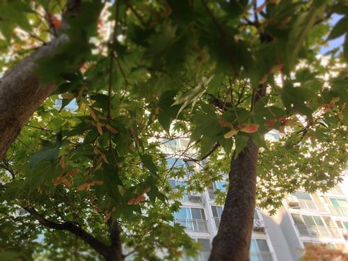 단풍나무씨앗 01
