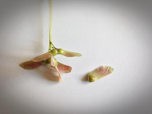 단풍나무 씨앗 02