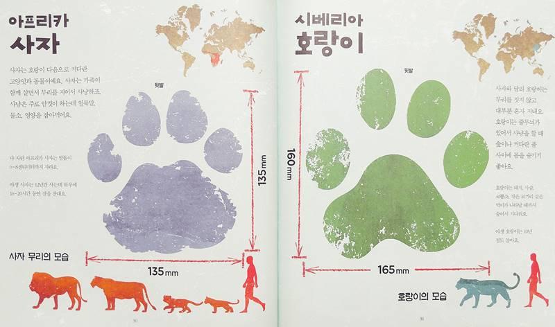 사자 대 호랑이 누구 발자국이 더 클까?